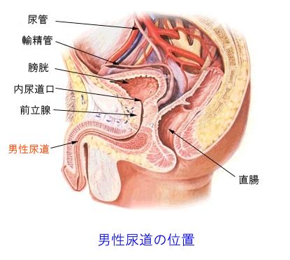 男性尿道の位置