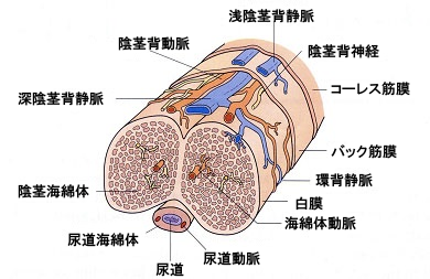 ペニスと亀頭の構造図