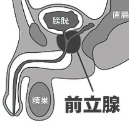 前立腺の位置の図解